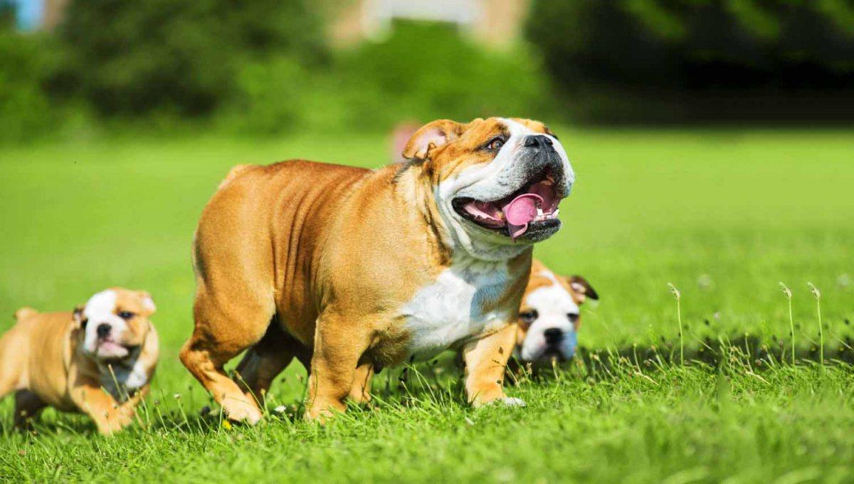 Khám phá giống chó Bulldog, giống chó có lịch sử lâu đời